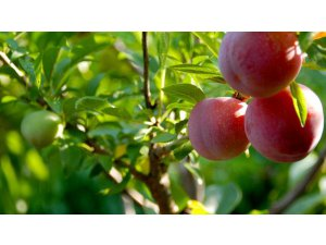 Image of Plum | One Nature Fruits