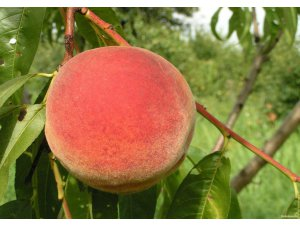 Image of Peach | One Nature Fruits